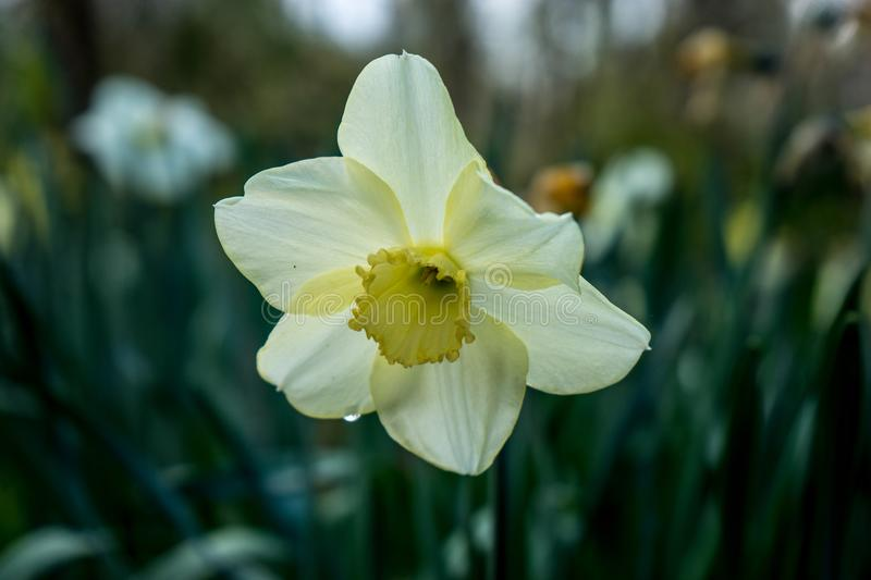 Cream coloured daffodil with blurred background in Lisse, Keukenhoff, Netherlands, Europe royalty free stock photography