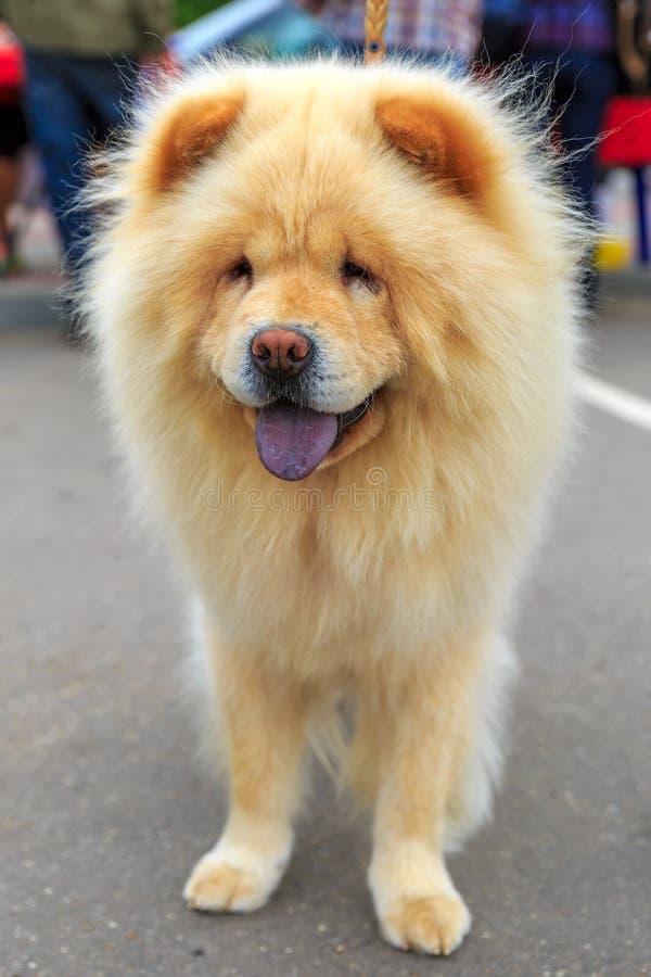 Cream dog Chow-Chow breed stock image