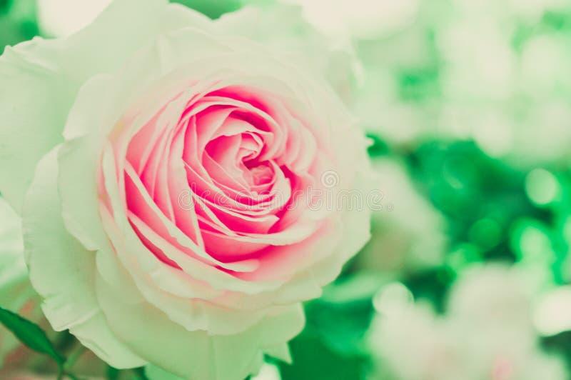Cream English Rose Close Up macro stock photos