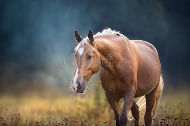Palomino horse portrait. Cream horse close up portrait in motion in fog morning at sunlight stock images