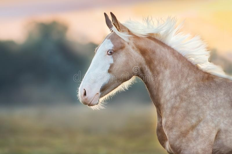 Palomino Horse portrait in motion stock image