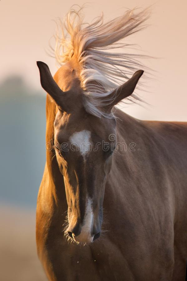 Palomino horse portrait in motion royalty free stock image