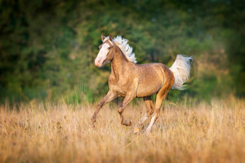 Palomino horse run. Cream horse run gallop in autumn meadow royalty free stock images