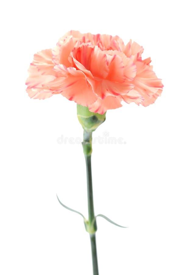 Cream orange carnation. Isolated on white background royalty free stock photography