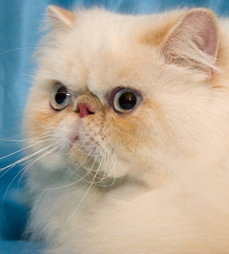 Free Cream Persian Cat With Big White Whiskers Royalty Free Stock Photos - 3629488