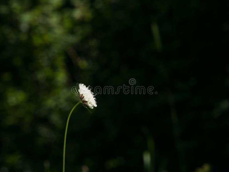 Cream Pincushions или Scabiosa Ochroleuca, конец-вверх цветка с темной предпосылкой bokeh, селективным фокусом, отмелым DOF стоковые изображения rf