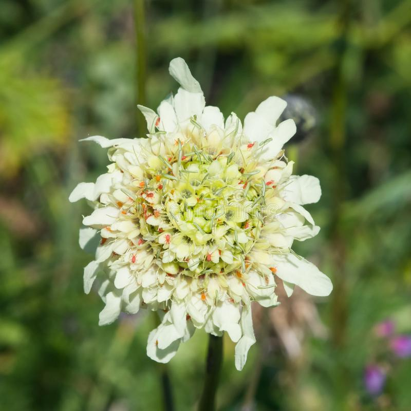 Cream Pincushions or Scabious, Scabiosa Ochroleuca, flower with small red ticks close-up, selective focus, shallow DOF stock photo