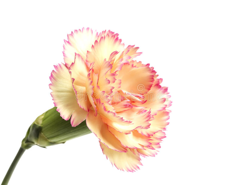 Cream and pink carnation royalty free stock photography
