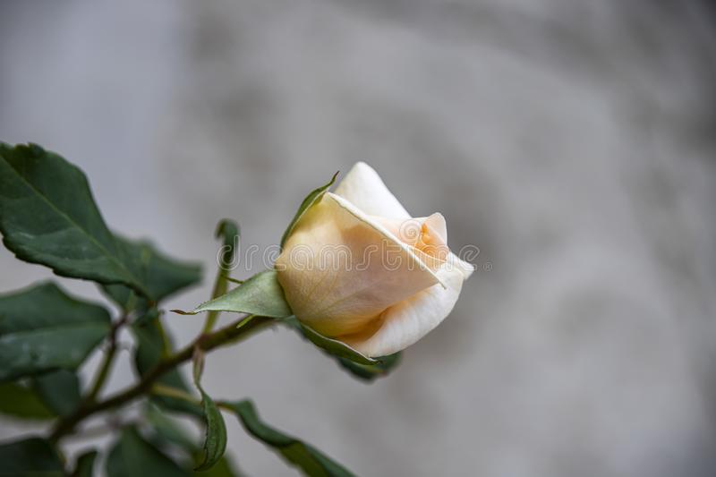 Cream rose bud close-up on a blurred gray background. stock images
