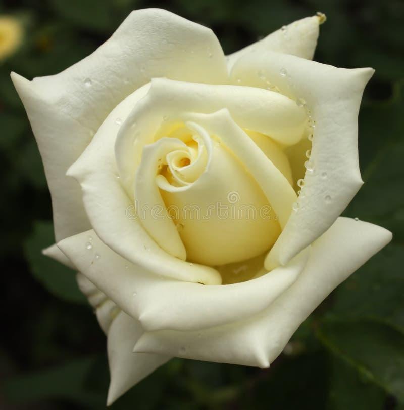 Cream rose - close-up stock photography
