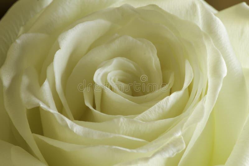 Cream rose petal close up stock photography