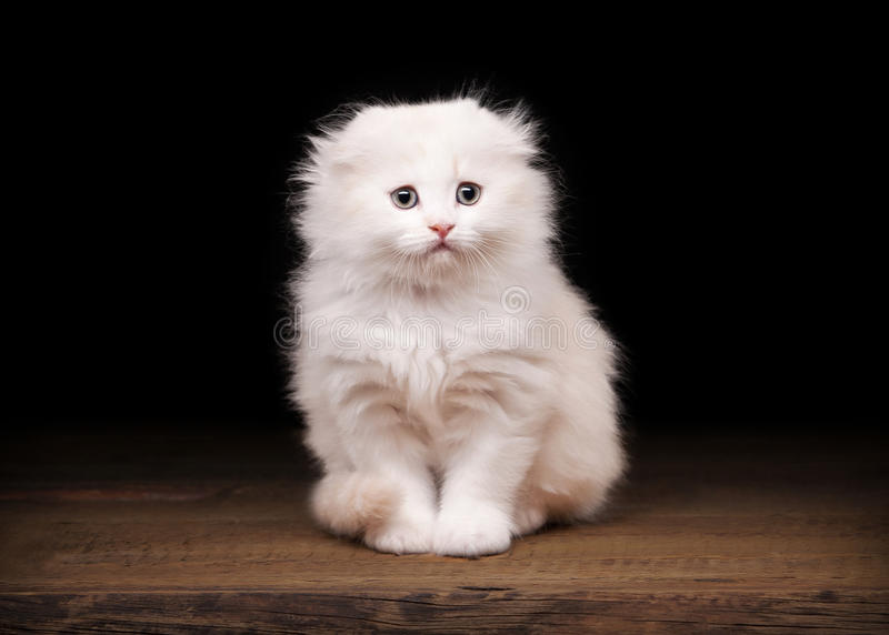 Cream scottish fold kitten on table. With wooden texture royalty free stock image