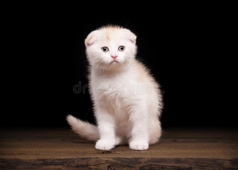 Cream scottish fold kitten on table with wooden texture. Scottish fold kitten on table with wooden texture royalty free stock photography