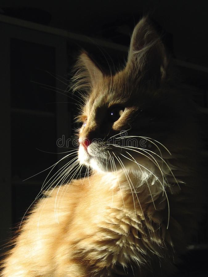 Cream shaded Maine Coon cat. royalty free stock images