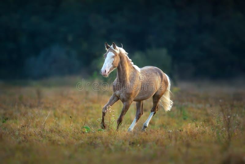 Cream stallion run gallop royalty free stock photos