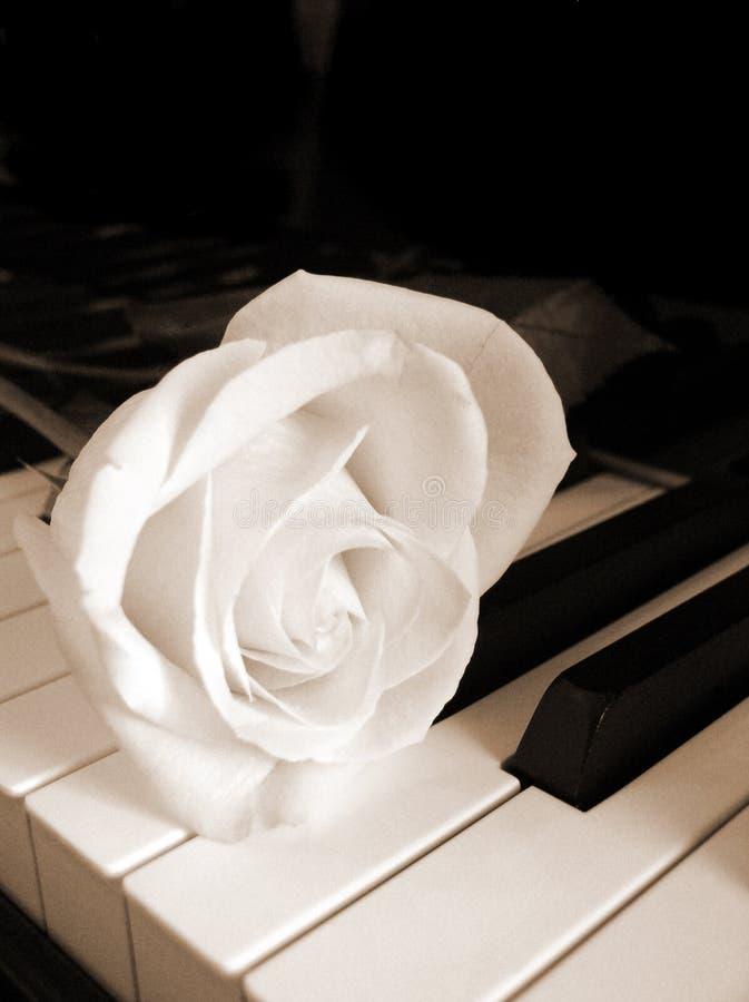 Cream White Rose On Piano Keys - Sepia Royalty Free Stock ...