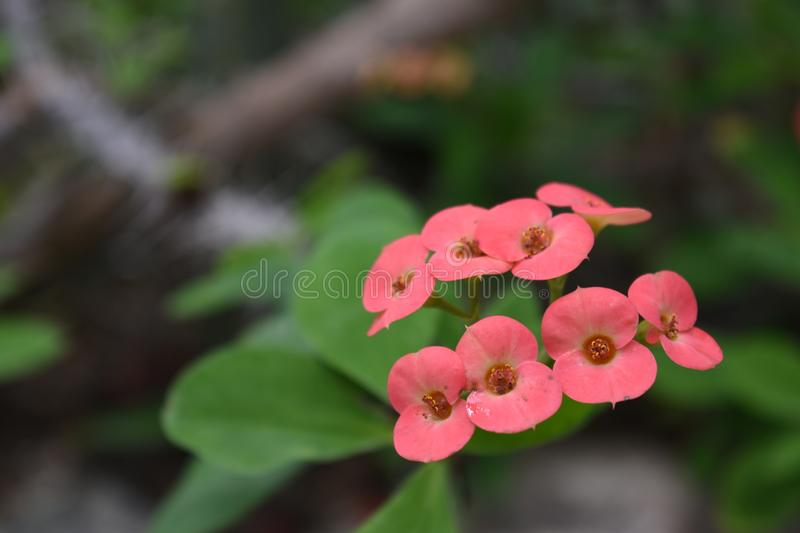 Creamy Pink Euphorbia flowers royalty free stock photos