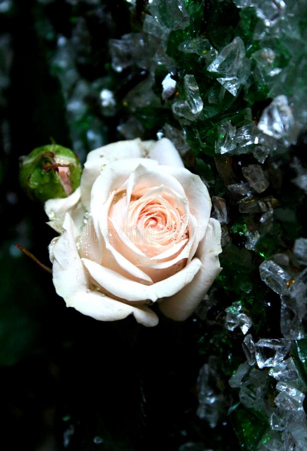 Free Creamy Rose Royalty Free Stock Photography - 103249057