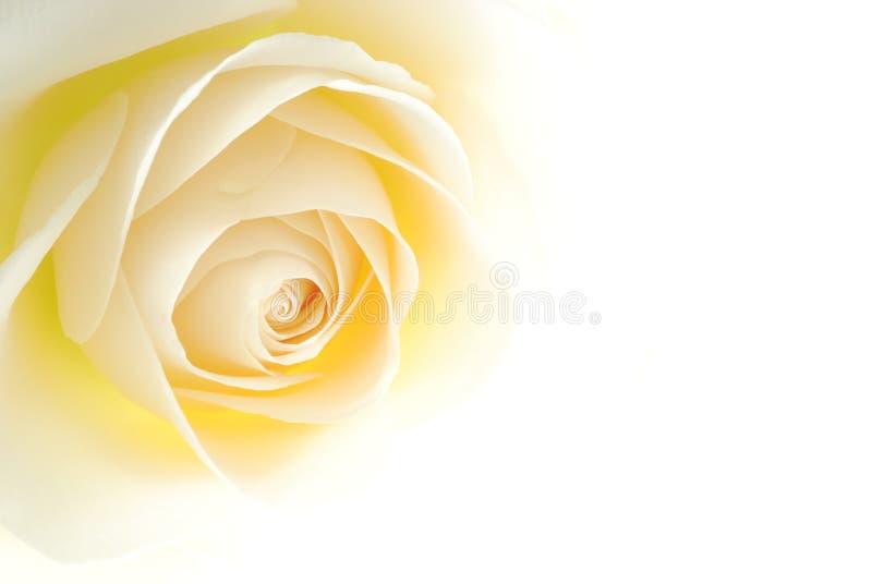 Creamy rose stock image