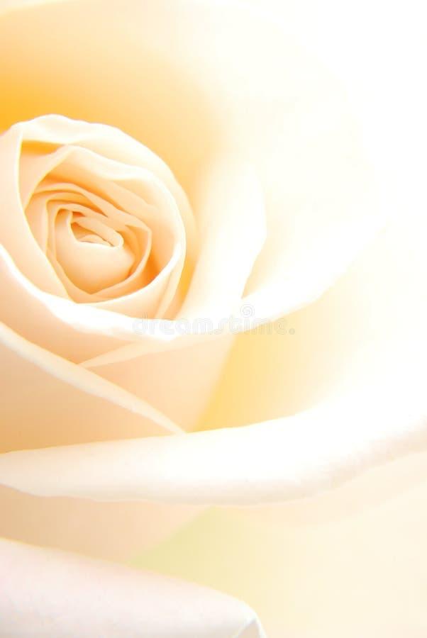 Creamy Rose Stock Photography