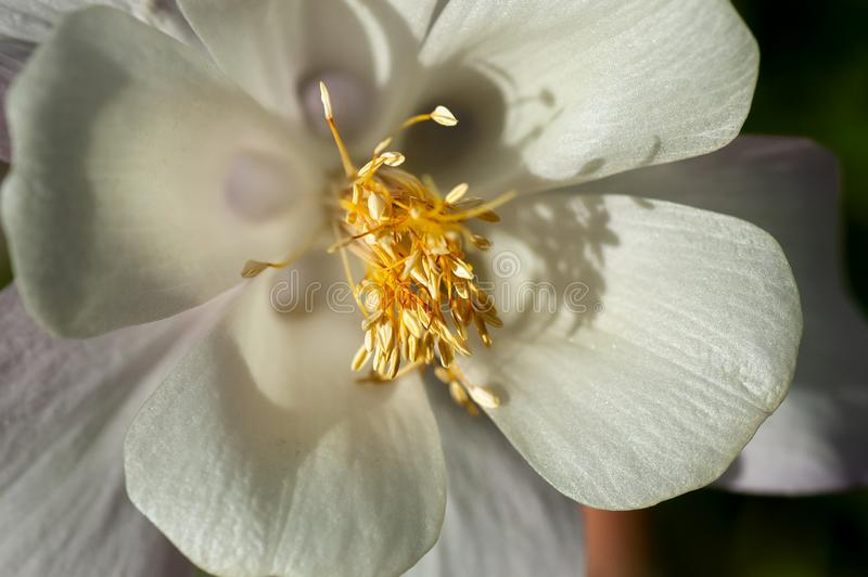 A creamy white flower wildflower blossom. Close up of creamy white flower blossom, with yellow stamen in soft focus stock images