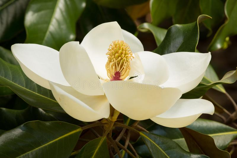 A creamy white Southern Magnolia Blossom royalty free stock images