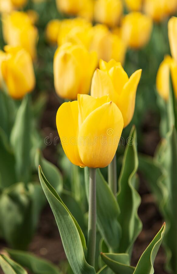 Creamy yellow tulip in the garden.  stock photos