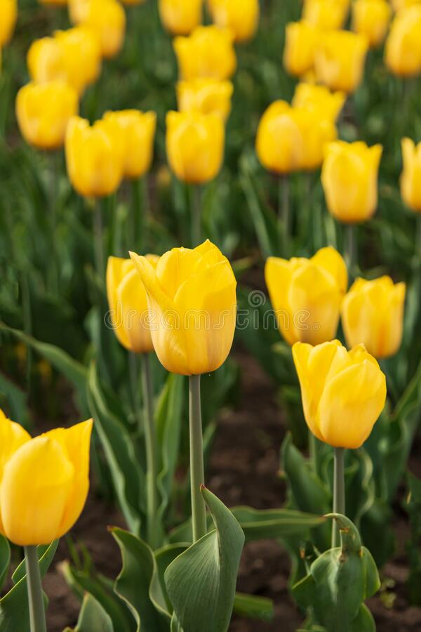 Creamy yellow tulip in the garden.  royalty free stock photography