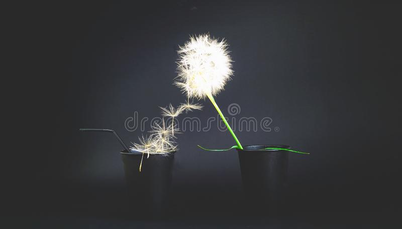 Creative black background with paper disposable cups and dandelion inflorescence royalty free stock image