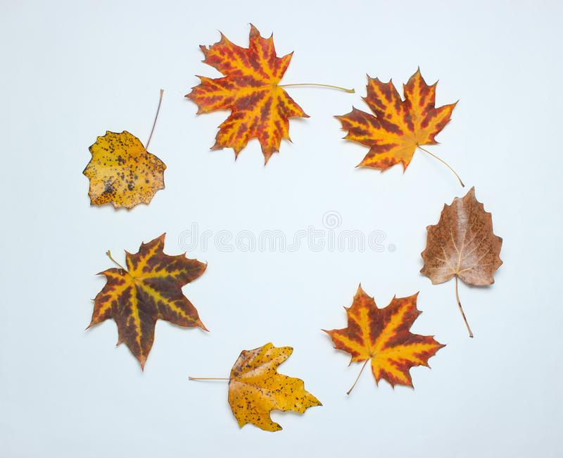 Creative circle of fallen autumn leaves on a white background. Top view, minimalism. Creative circle of fallen autumn leaves on a white background. Top view royalty free stock photography