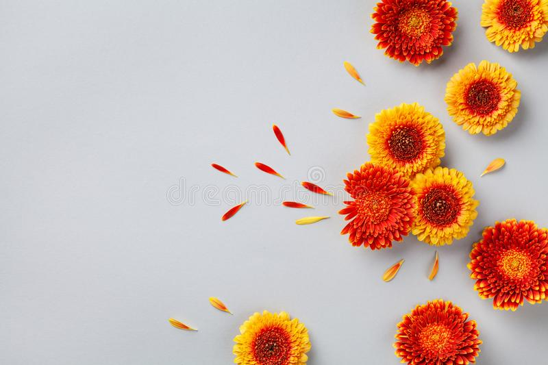 Creative composition of beautiful colorful gerbera flowers with petals on gray background. Autumn concept. Flat lay. Greeting card stock photography