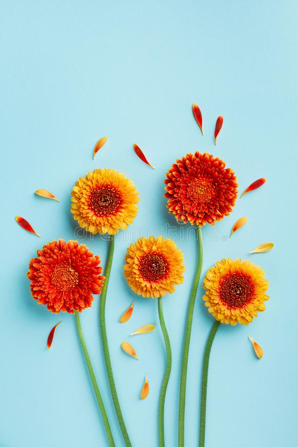 Creative composition of beautiful yellow and orange gerbera flowers with petals on blue background. Autumn concept. Greeting card royalty free stock image