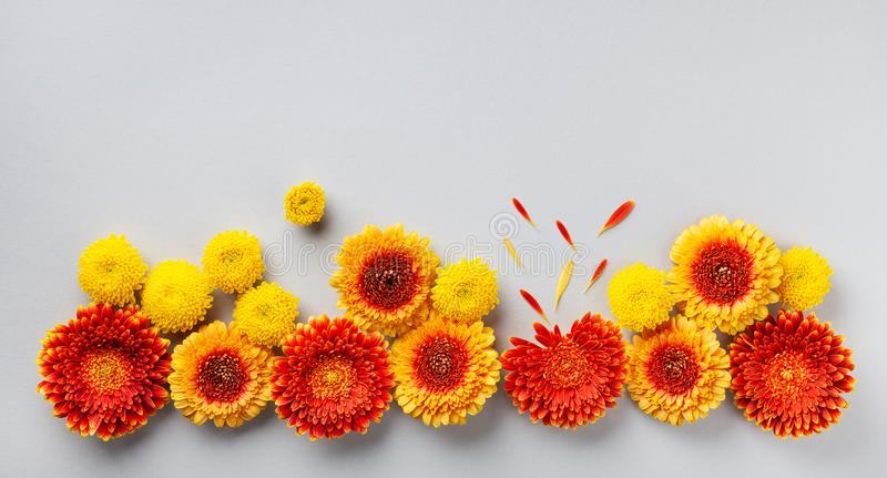 Creative composition of beautiful yellow and orange gerbera flowers with petals on gray background. Autumn border. Flat lay. royalty free stock image