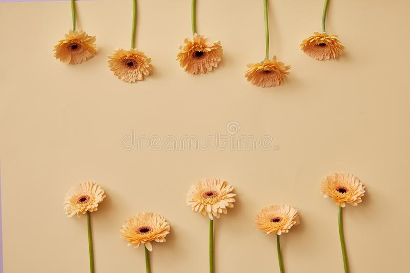 Creative composition of beige flowers gerberas for Valentine`s Day or Mother`s stock images