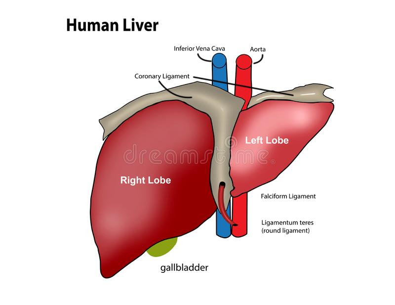 Creative human liver design with touch points words. Illustration creative liver design  images work on white background stock illustration