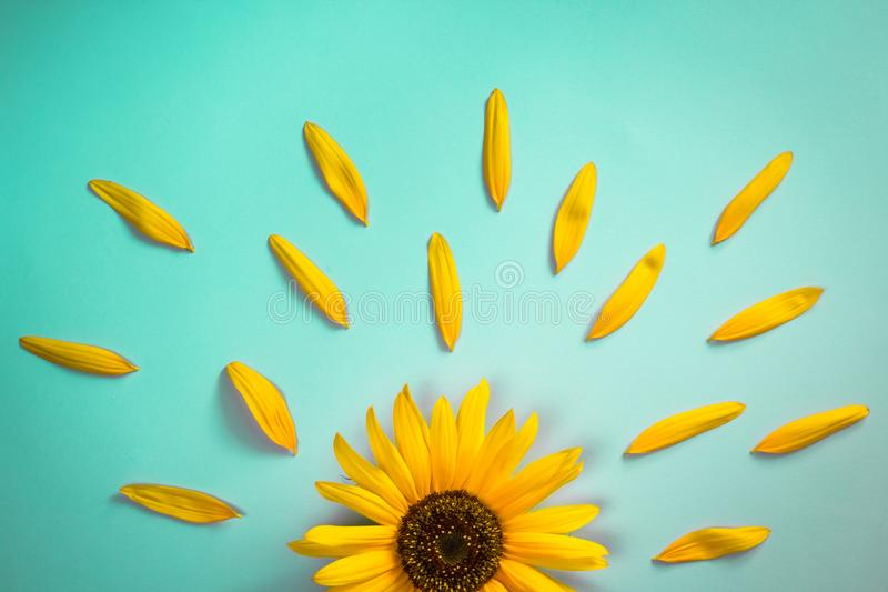 Creative layout made of sunflower and petals on bright blue background. Flat lay. Yellow sunflower on bright blue background with petals. Emotion concept. Summer royalty free stock photos