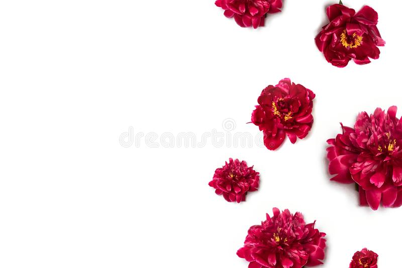 Creative layout of red peony flower border with space for text on white background royalty free stock image