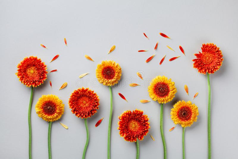 Creative nature composition of beautiful yellow and orange gerbera flowers with petals. Autumn windy day. Flat lay. Creative nature composition of beautiful stock photography