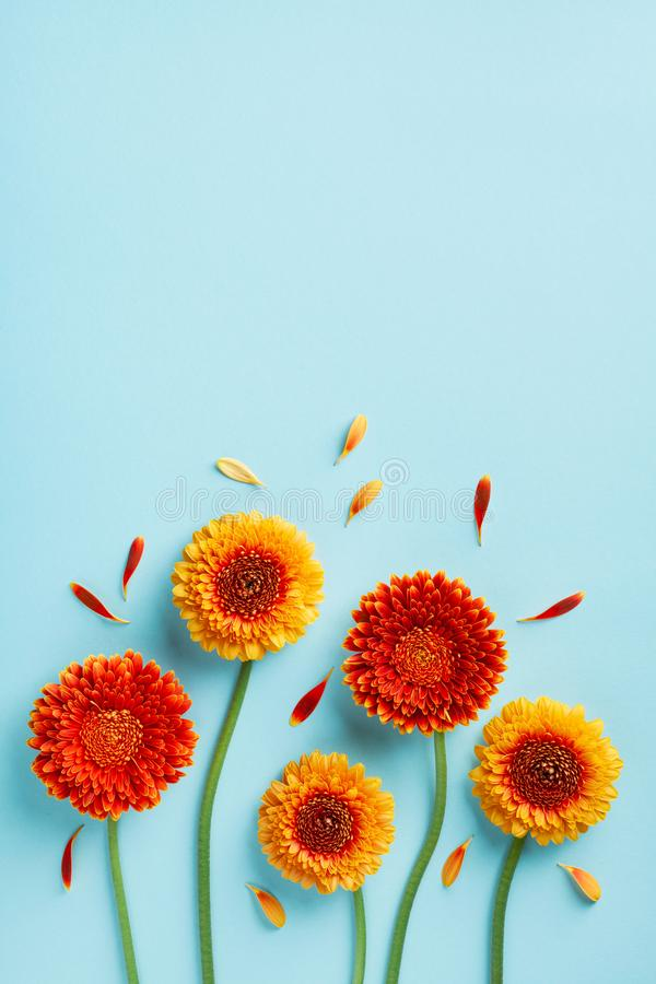 Creative nature composition of beautiful yellow and orange gerbera flowers with petals on blue. Autumn concept. Flat lay. Creative nature composition of royalty free stock image