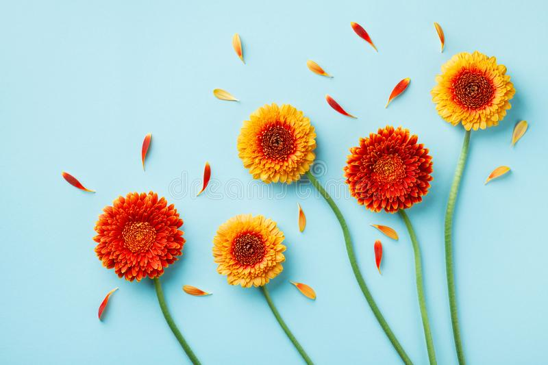 Creative nature composition of beautiful yellow and orange gerbera flowers with petals on blue table. Autumn concept. Flat lay royalty free stock images