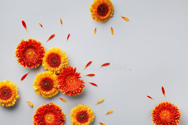 Creative nature composition of beautiful yellow and orange gerbera flowers with petals on gray background. Autumn concept.Flat lay. Creative nature composition royalty free stock images