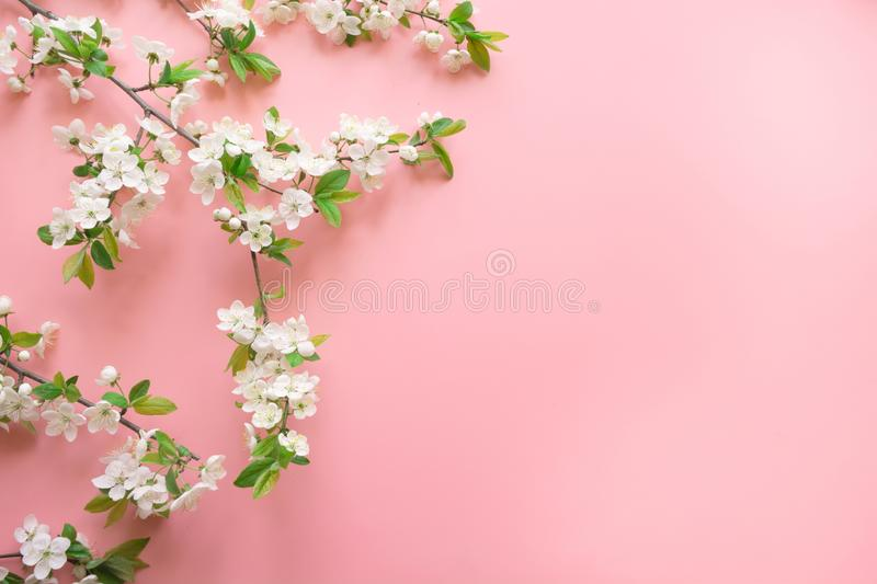 Creative springtime layout, spring white blossom branches on pastel pink. Floral pattern. Banner or template. View from above, royalty free stock images