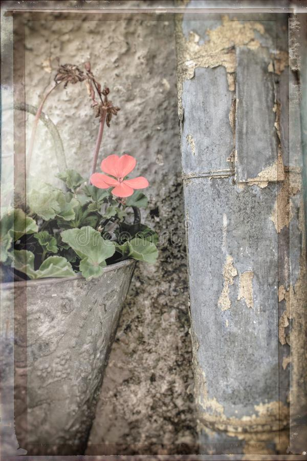 Creative still life of flower in old fashioned wall pot and a rusty rain pipe royalty free stock photography