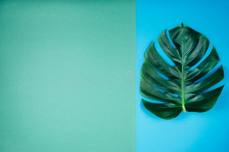 Tropical exotic plant green monstera leaf on coral emerald blue-green background. Creative tropical exotic plant single green monstera leaf on emerald blue royalty free stock photo