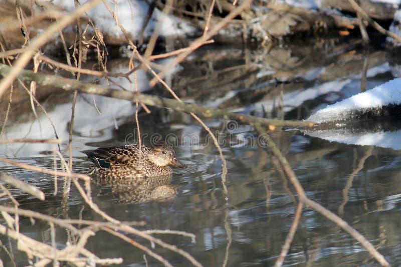Crecca euroasiatico femminile di anas dell'alzavola che galleggia sul fiume nell'inverno immagini stock libere da diritti