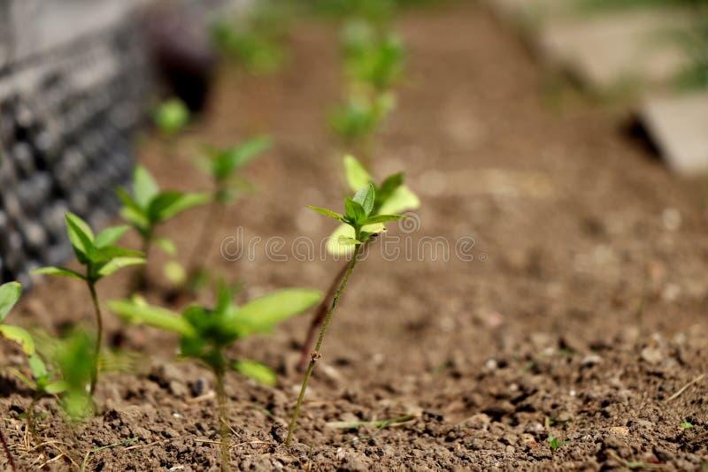 Crecer la nueva planta en tierra Nuevas plantas de la era de los principios en Año Nuevo foto de archivo libre de regalías