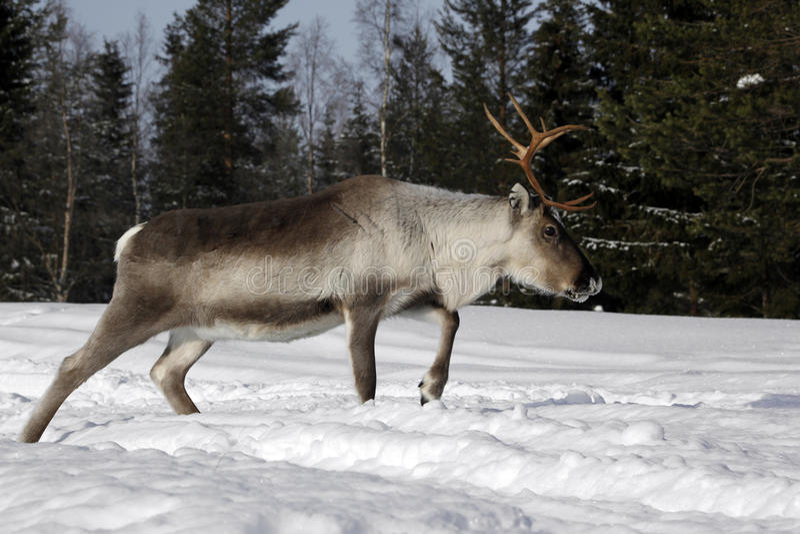Tarandus del reno/del Rangifer en invierno fotos de archivo libres de regalías