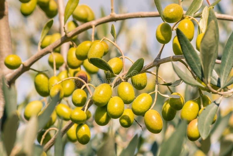 Crecimiento de aceitunas español verde maduro en el olivo con el fondo borroso fotografía de archivo libre de regalías
