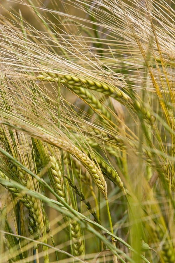 Crecimiento de cosecha del trigo en campo foto de archivo libre de regalías