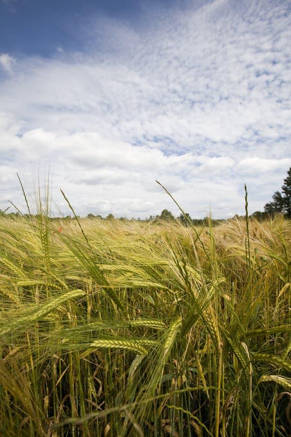 Crecimiento de cosecha del trigo en campo fotografía de archivo